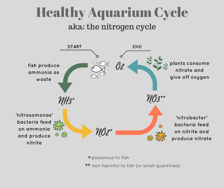 nitrogen cycle in a healthy aquairum