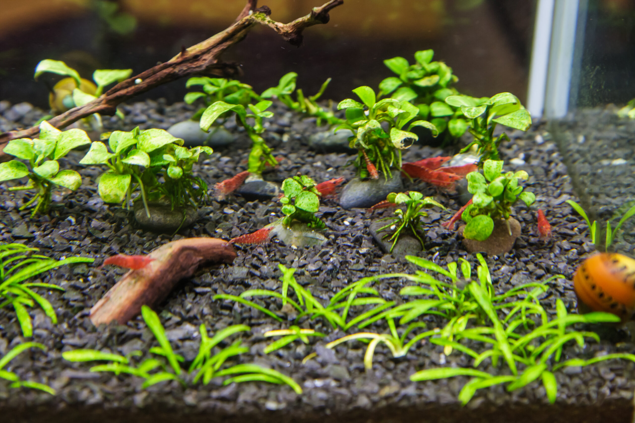 red cherry shrimp and nerite snail