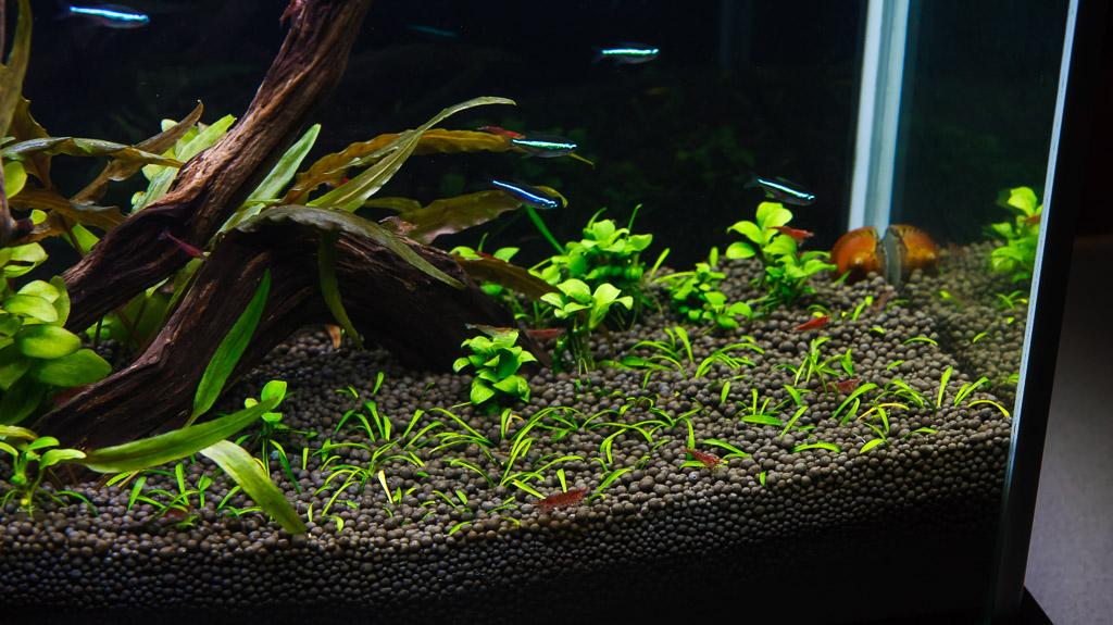 green neon tetra fish